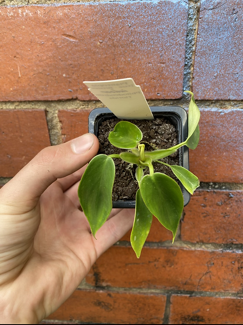 Philodendron 'Florida' in 75mm pot
