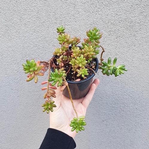 Jellybean Plant/Sedum rubrotinctum in 10cm pot