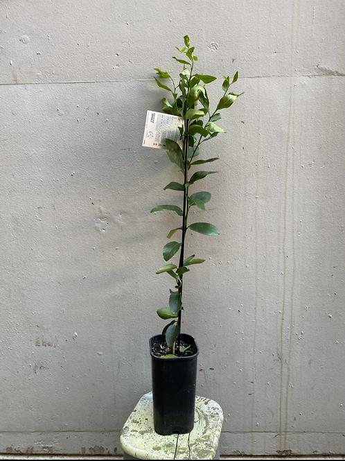 'Lisbon' Lemon Tree/Citrus limon in 15cm square pot