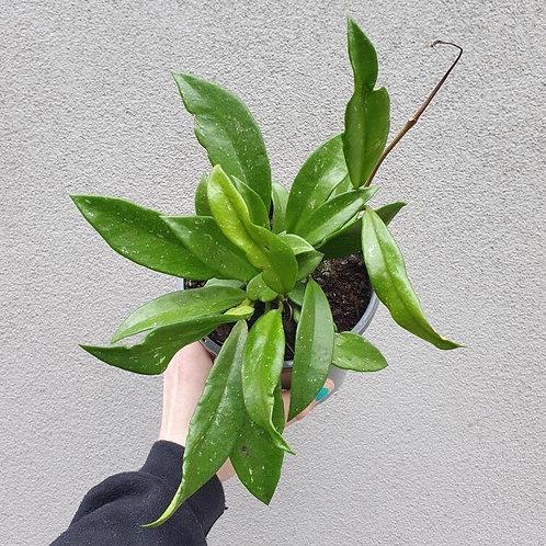 Hoya pubicalyx 'Silver' in 14cm pot