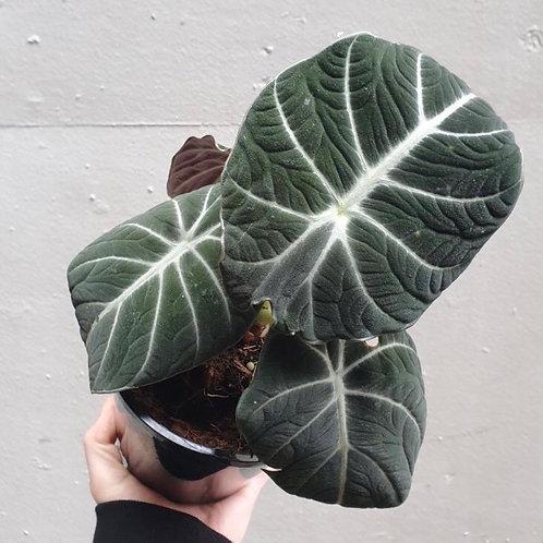 Alocasia 'Black Velvet' in 14cm pot