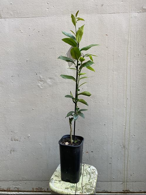 'Meyer' Lemon Tree/Citrus x meyeri in 15cm square pot