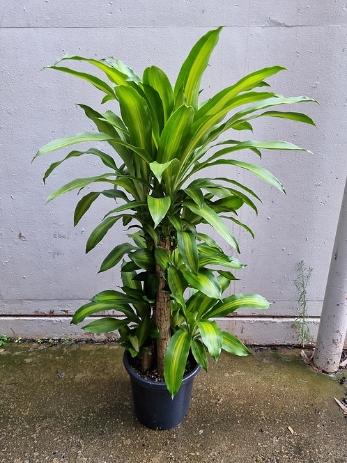 Happy Plant/Dracaena fragrans 'Massangeana' in 30cm pot