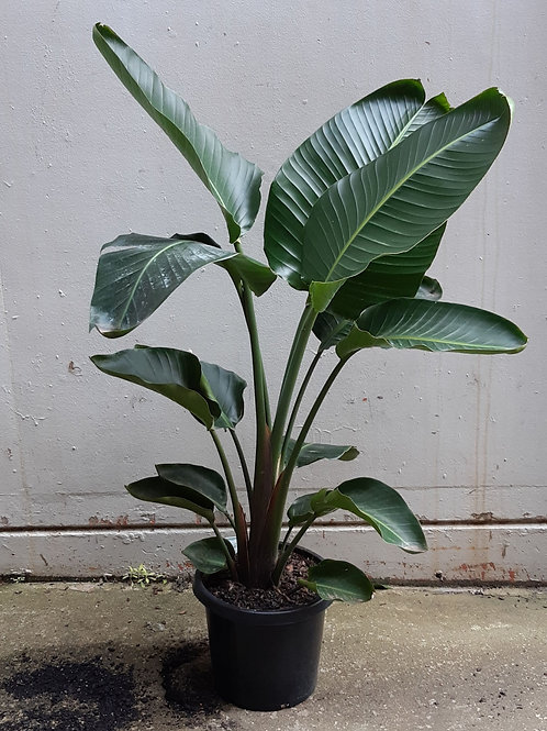 Bird of Paradise/Strelitzia nicolai in 30cm pot (double planted)