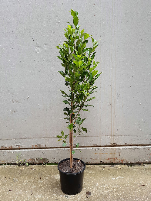 Ficus Hilli in 20cm pot