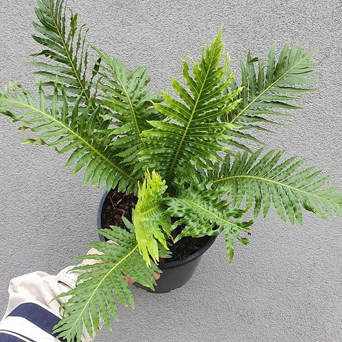 Silver Lady Fern/Blechnum gibbum in 20cm pot