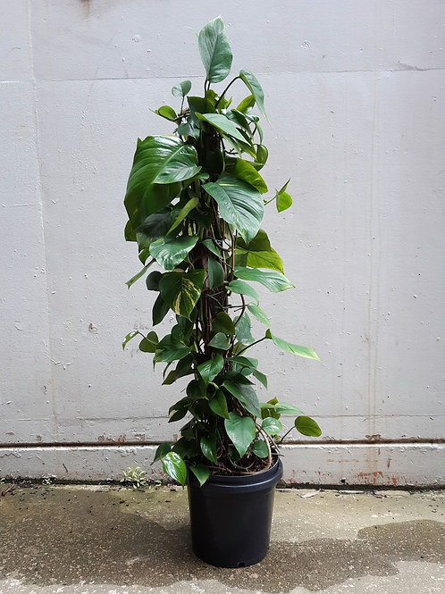 Devil's Ivy Totem/Empiprenum aureum in 30cm pot