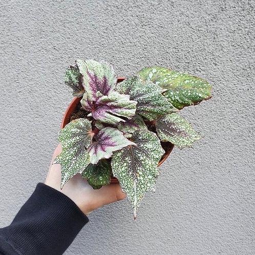 Begonia 'Freckles' in 12cm pot