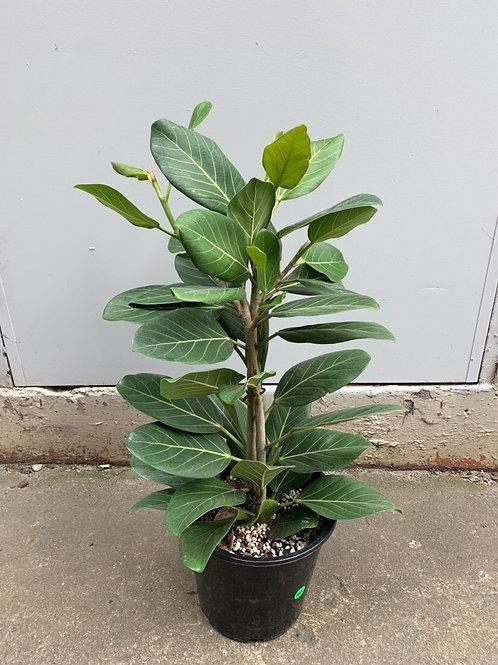 Ficus benghalensis 'Audrey' in 25 pot