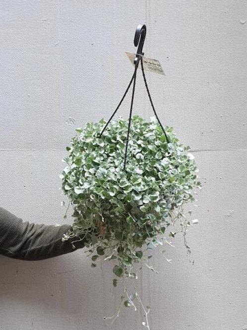 Dichondra 'Silver Falls' in 27cm pot
