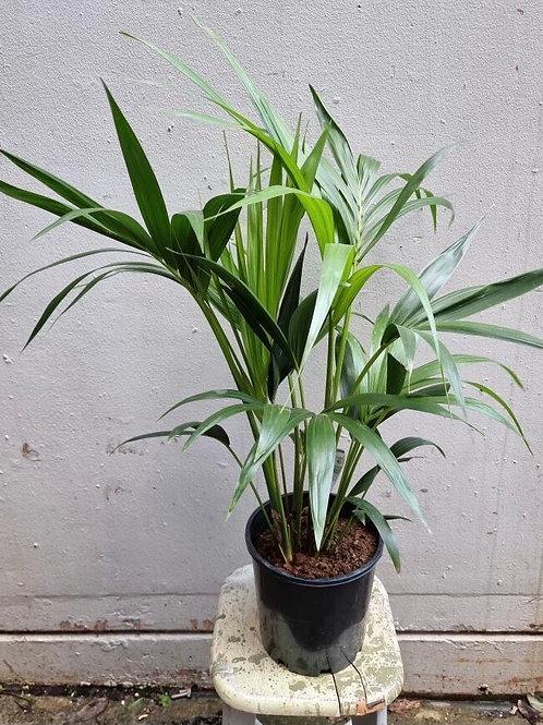 Kentia Palm/Howeria forsteriana in 20cm pot