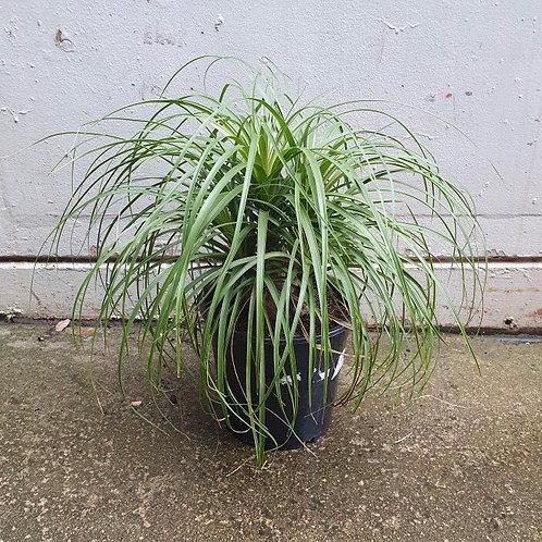 Ponytail Palm/Beaucarnea recurvata in 25cm pot (4-HEADED)