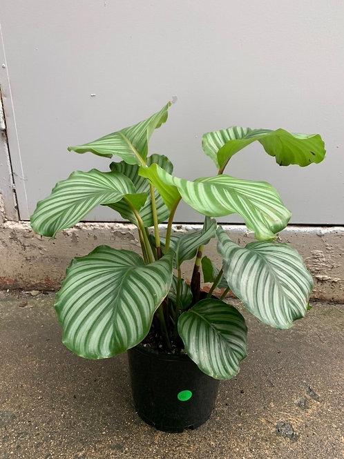 Calathea orbifolia in 20cm pot