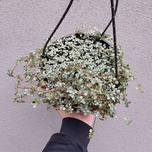 Pilea libanensis 'Silver Sprinkles' in 20cm hanging pot