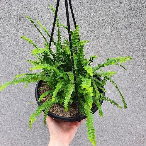 Duffii Fern/Nephrolepsis cordifolia in 20cm hanging pot