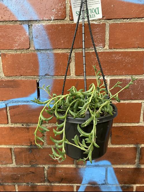 String of Dolphins/Senecio peregrinus in 15cm hanging basket