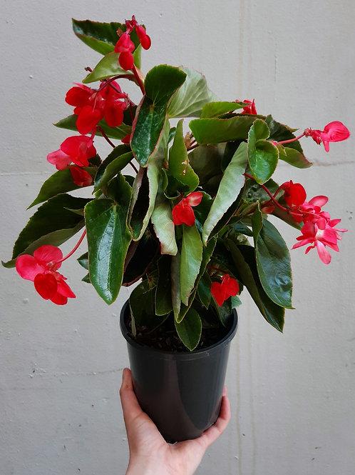 Begonia 'Dragon Wing' in 14cm pot