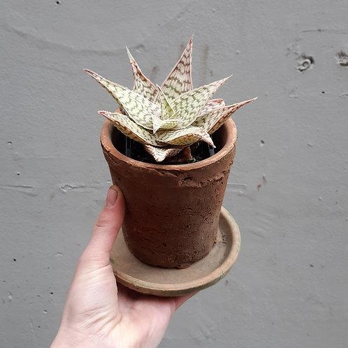 Aloe 'Sunshine' in rustic terra cotta pot
