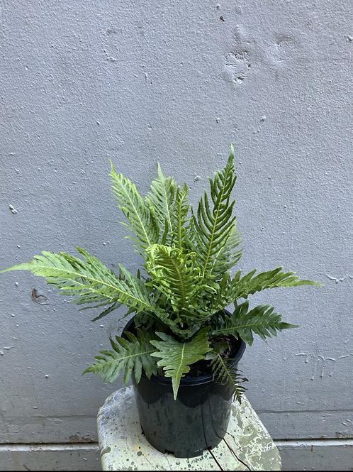 Silver Lady Fern/Blechnum brasiliense in 20cm pot