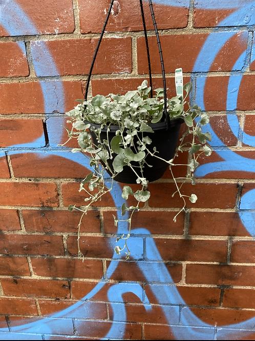 Dichondra repens 'Silver Falls' in 20cm hanging basket