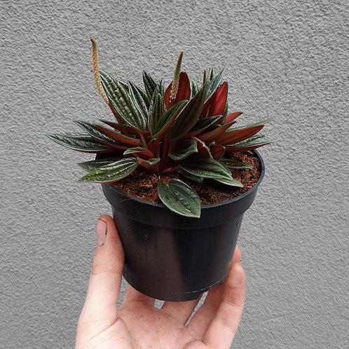 Peperomia rosso in 9cm pot