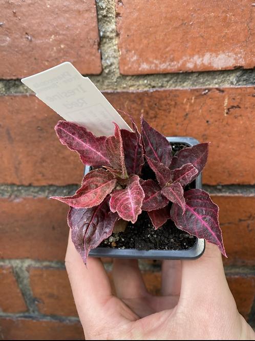 Blood Leaf Plant/Iresine herbstii in 75mm pot