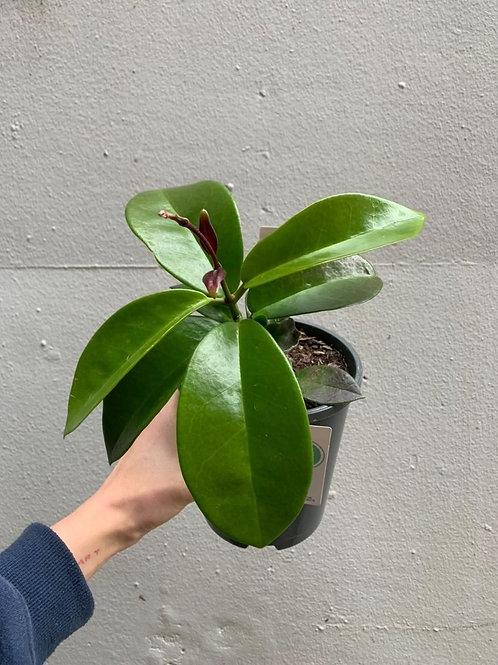 Hoya carnosa 'Pink' in 13cm pot