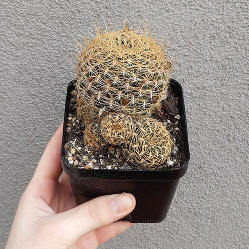 Sulcorebutia candiae in 10cm pot