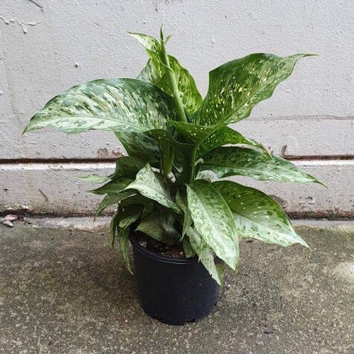 Dieffenbachia 'Memoria-Corsii' in 20cm pot