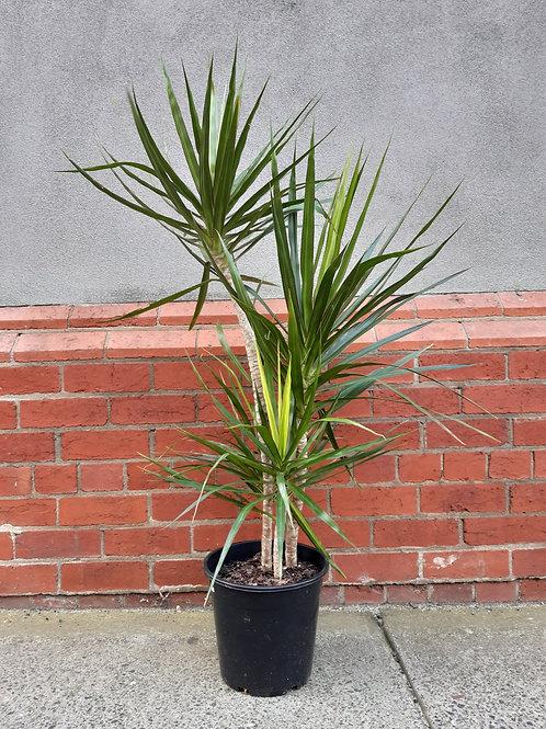 Dracaena marginata in 25 cm pot