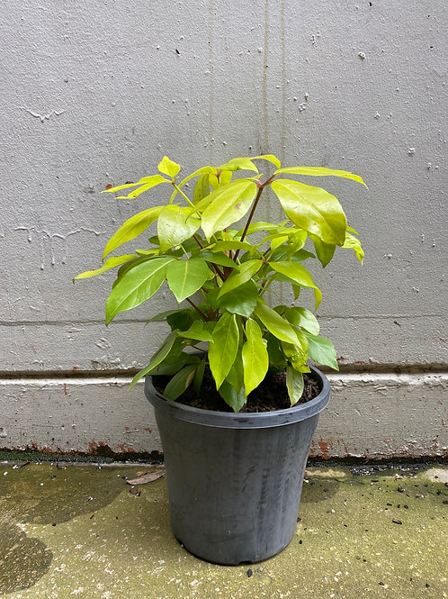 Umbrella Plant 'Lemon Lime' in 25cm pot