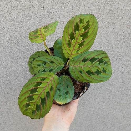 Maranta leuconeura 'Red' in 13cm pot