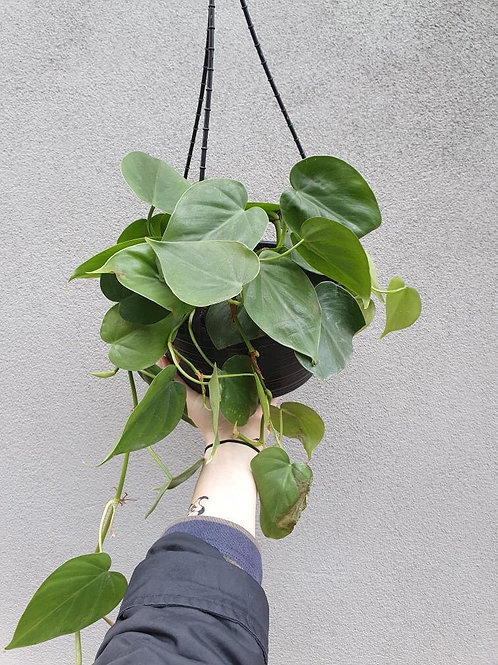 Heart Leaf Philodendron in 20cm hanging pot
