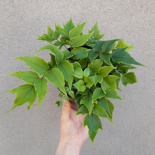 Holly Fern/Cyrtomium falcatum in 14cm pot