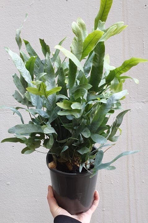 Blue Star Fern/Phlebodium aureum in 14cm pot