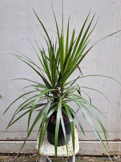 Dracaena marginata in 20cm pot