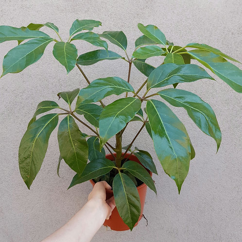 Tupidanthus calyptratus in 19cm pot