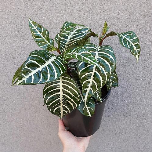 Zebra Plant/Aphelandra squarrosa in 17cm pot