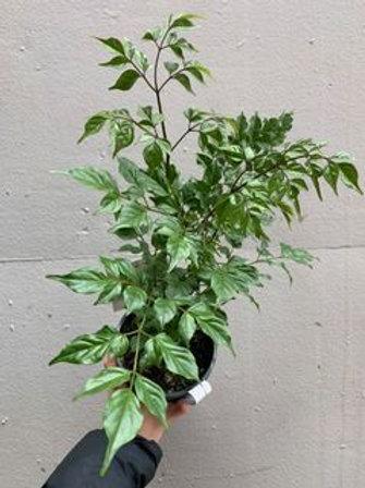 China Doll/Radermachera sinica in 14cm pot
