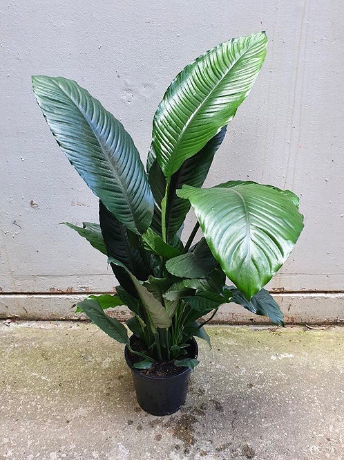 Spathiphyllum sensation in 25cm pot