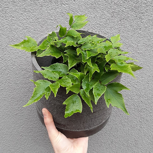 Holly Fern in Charcoal Concrete Pot