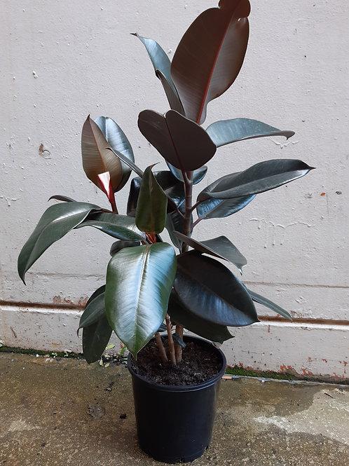 Burgundy Rubber Plant/Ficus elastica in 20cm pot