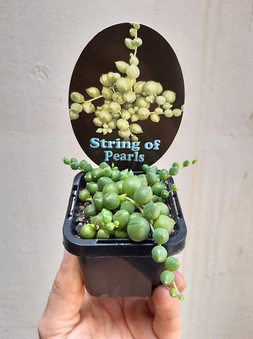 String of Pearls/Senecio rowleyanus in 6cm pot