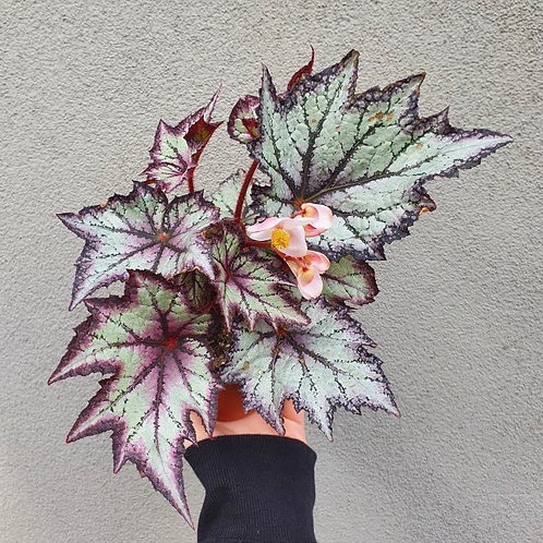 Begonia 'Bewitched Lavender' in 12cm pot