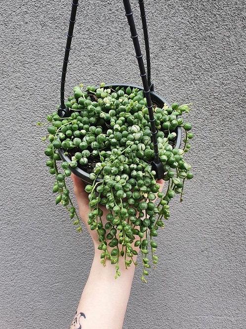 Variegated String of Pearls/Senecio rowleyanus in 15cm hanging pot