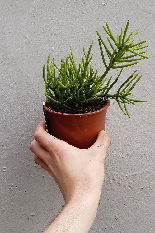 Rhipsalis grandiflora in 13cm pot