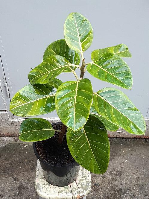 Ficus 'Lemon Lime' in 25cm pot