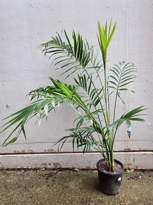 Cascade Palm/Chamedorea atrovirens in 20cm pot