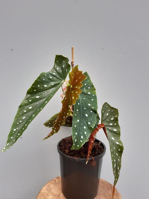 Begonia Maculata in 19cm pot
