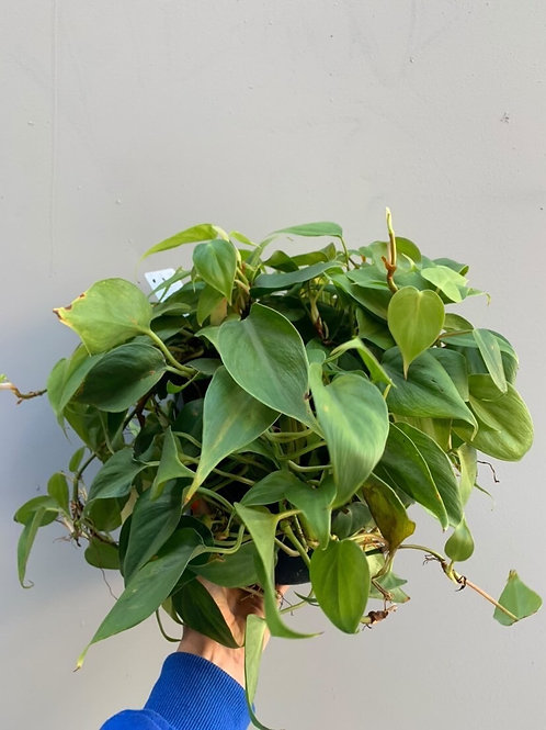 Philodendron 'Emerald' in 20cm pot